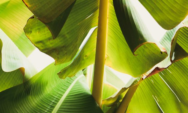 Develop banana fibre banks for fibre industry