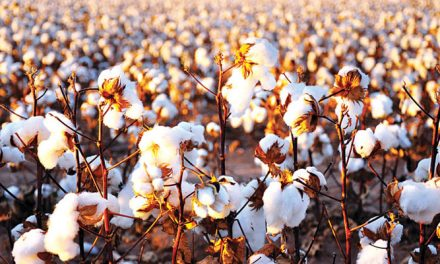 Cotton production expected to drop in India