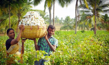 Cotton prices in India to stay firm until next fiscal