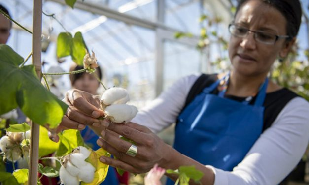 CSIRO develops next generation cotton