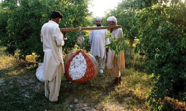 Pakistan observes rise in cotton cultivation