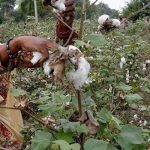 Committee fears drastic fall in cotton production in Pakistan