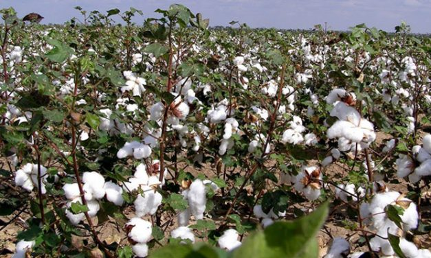 Textile Ministry aim to adhere to quality norms for Indian cotton