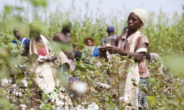 Kenyan ministries to explore Bt cotton introduction