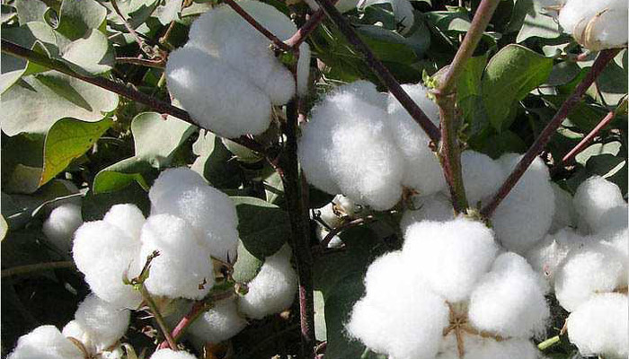 CAI lowers 2018-19 cotton crop estimates