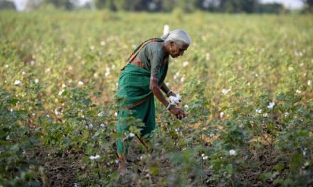 CAI projects lower cotton yields for current crop year