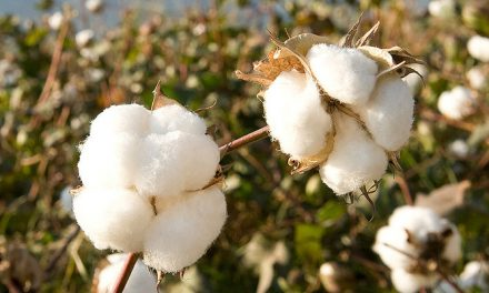 Support for Brazilian organic cotton innovation