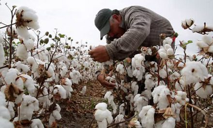 Rising production of Mexican cotton reduces US exports