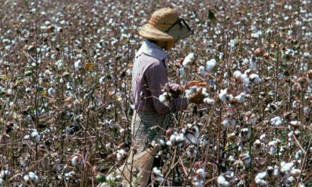 Cotton prices drop in Brazil as buyers retract