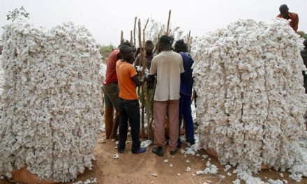 Cotton production of Burkina drops