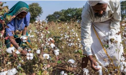 India to regain top cotton producer status