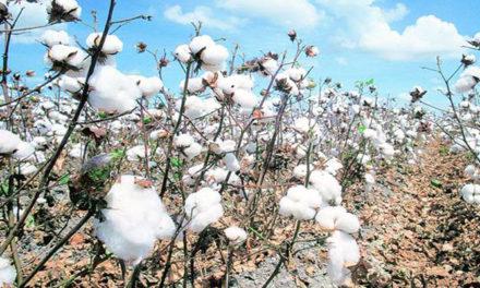 Cotton Association of India retains cotton crop estimate