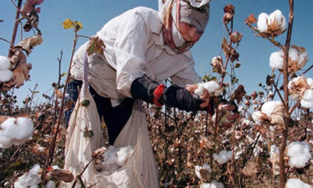 Cotton cultivation to rise in Azerbaijan