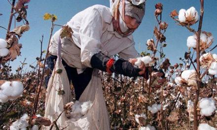 Cotton cultivation to rise in Azerbaijan