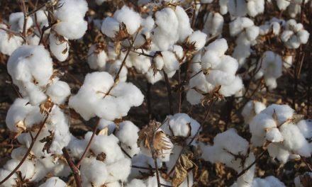BCI reports 40 percent production hike in 'better cotton'
