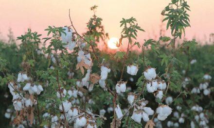 FiBL launches guide on organic cotton breeding
